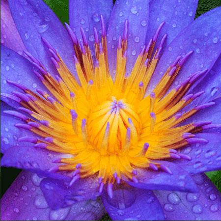 Blue-Lotus-web