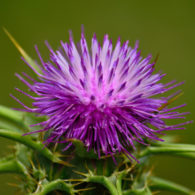 milk thistle for web